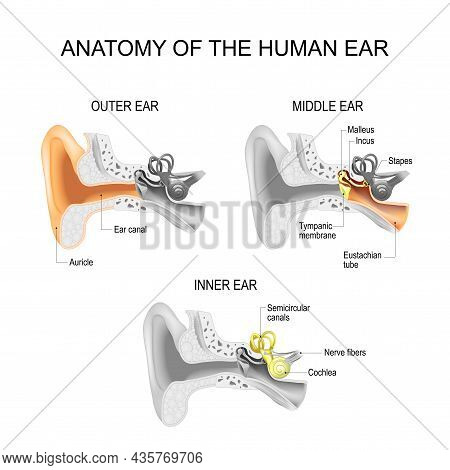 Ear Anatomy. Cross Section Of External (outer), Middle, And Inner Ear Opened. Close-up Of Human Ear