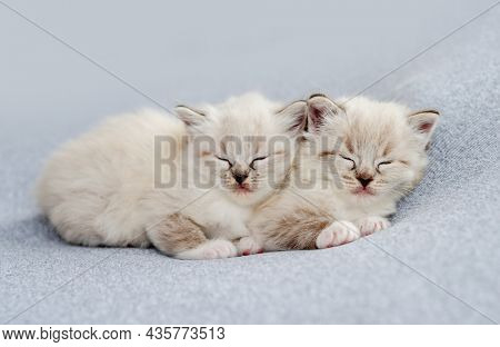 Two adorable little ragdoll kittens sleeping together on light blue fabric during newborn style photoshoot in studio. Cute napping kitty cats portrait