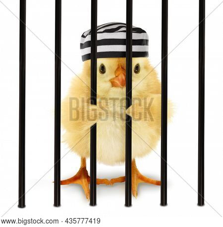 Cute cool chick prisoner jailbird with striped cap in cage behind bars funny conceptual image. Funny baby animal jail concept
