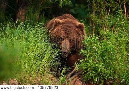 Kamchatka, A Bear Comes Out Of The Forest To The Lake.