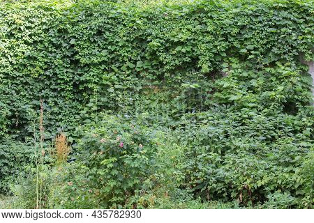 Branches Of The Maiden Grapes With Green Foliage Creeping Up The Concrete Retaining Wall, Background