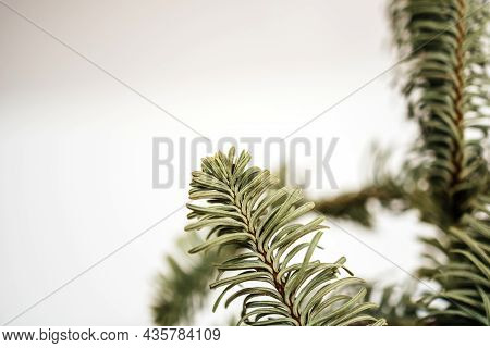 Macro View Of Dried Macro Fir Tree Branch Isolated On White Background