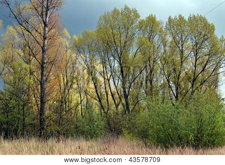 Poplar trees in spring.