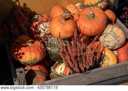Wooden Box Full Of Ripe Pumpkins And Potted Calluna Vulgaris Flowering Plant At The Greek Garden Sho