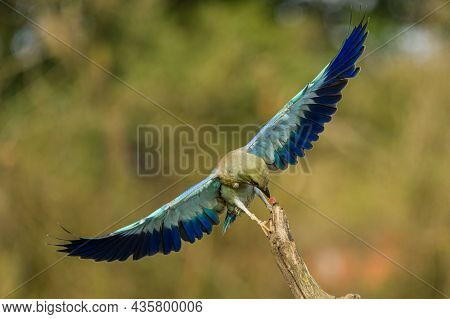 A European Roller Picking A Piece Of Food From A Branch While Flying With It's Wings Spread.