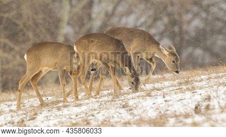 Three Roe Deer Feeding On Snowy Grass In Winter Nature