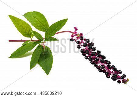 Pokeweed (phytolacca Americana) Isolated On White Background