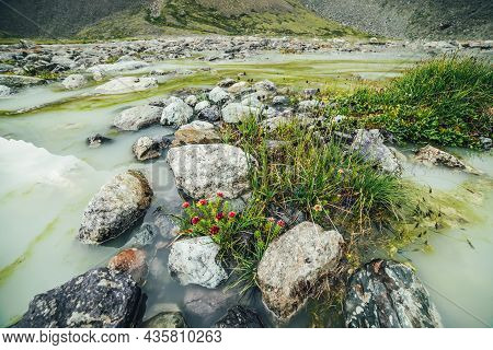 Vivid Alpine Landscape With Beautiful Pink Flowers Of Rhodiola Algida And Green Grasses Among Stones