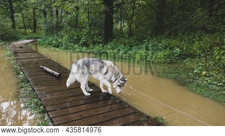 Husky On A Walk. Dog Standing On The Wooden Pathway In The Flooded Park