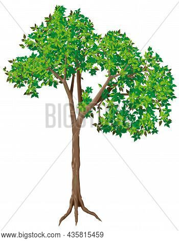 Green Deciduous Tree - Colored Isolated Illustration, Vector