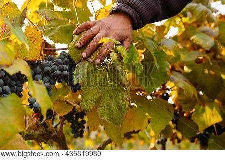 Man Worker Hand Pushes Grape Leaves Aside And Appears Beautiful Blue Ripe Grape To Gather It And Mak