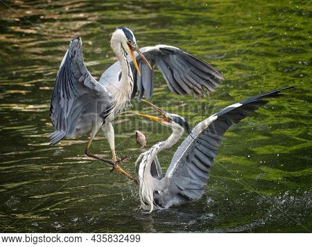 Two Grey Herons In Fight About Fish. Two Birds Are Hunting. Animal In Nature.