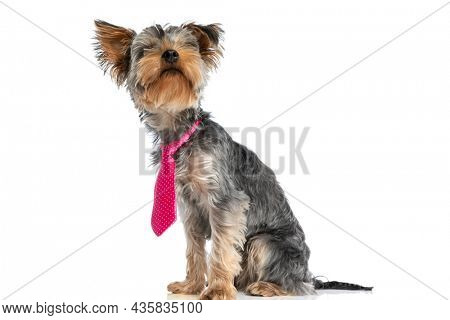 sweet little yorkshire terrier puppy wearing pink tie and looking up and sitting isolated on white background in studio