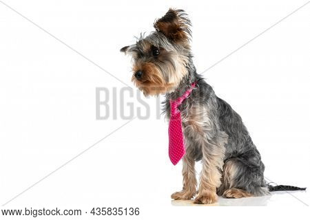 side view of little yorkshire terrier dog wearing pink tie and looking to side while sitting isolated on white background in studio