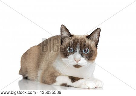 beautiful small metis kitty with blue eyes laying down isolated on white background in studio