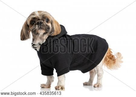 sweet shih tzu puppy looking to side, wearing black hoodie and collar and standing in a side view position on white background in studio