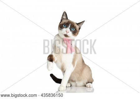 adorable metis kitty with pink bowtie and blue eyes holding leg in the air and sitting isolated on white background in studio