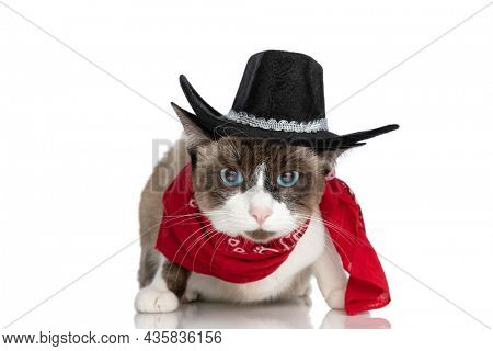 cool metis kitty wearing cowboy hat and red bandana around neck and sitting isolated on white background in studio