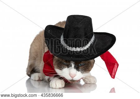 adorable little metis kitty wearing cowboy hat and red bandana, sniffing and laying down isolated on white background in studio