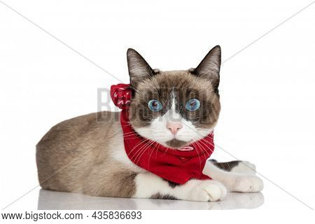lovely little metis kitty with blue eyes wearing red bandana around neck laying down isolated on white background in studio