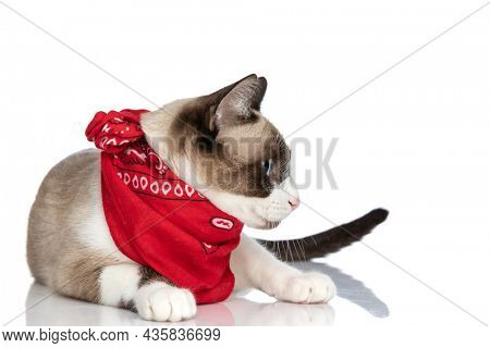 beautiful metis kitty wearing red bandana and looking to side while laying down isolated on white background in studio