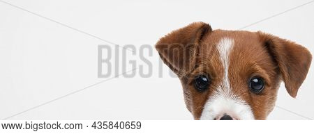 landscape of a cute jack russell terrier dog hiding his face from the camera against gray background
