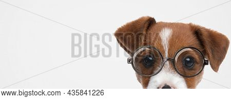 landscape of an adorable jack russell terrier dog hiding his face and wearing eyeglasses