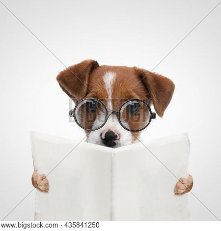 landscape of a beautiful jack russell terrier dog reading the newspaper and eyeglasses