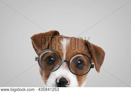 landscape of an adorable jack russell terrier dog wearing eyeglasses on gray background