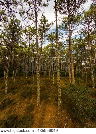 Pine Trees Forest View In Maceda, Ovar - Portugal.