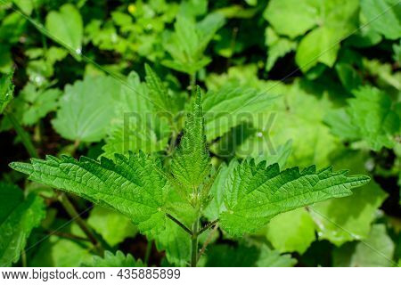 Green Leaves Of Urtica Dioica, Known As Common Nettle, Stinging Nettle Or Nettle Leaf, Fresh Green L