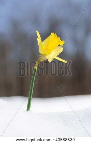 Single yellow Daffodil blooming in snow reaching for the sun in Spring