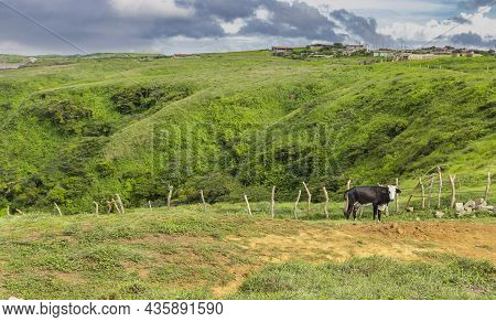 A Cow In The Field Near A Fence, A Cow Eating Grass In The Green Field, A Cow On A Hill Eating Grass