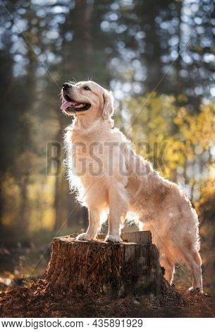 Portrait Of A Beautiful Dog In The Forest In Nature. The Golden Retriever Stands With Its Front Paws