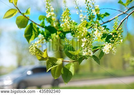 Young Spring Leaves And Flowers Of Bird Cherry Tree With Unblown Flower Buds. Spring Background. Sof