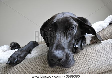 A Great Dane and Labrador retriever mix lounges on a couch near a window. poster