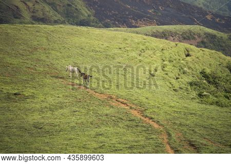 Two Horses Eating Grass Together In The Field, Hill With Two Horses Eating Grass, Two Horses In A Me