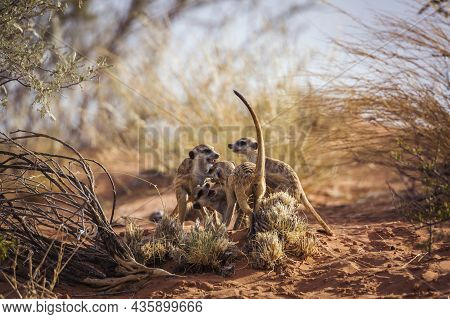 Meerkat Famliy Group Bonding And Playing In Kgalagadi Transfrontier Park, South Africa; Specie Suric