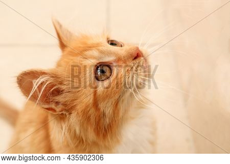 The Concept Of Pet Care. Cute Ginger Kitten Looks Up While Waiting For Food, Close-up