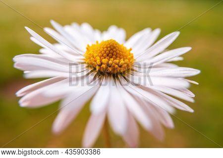 Cream White Daisy Bloom In The Morning Light