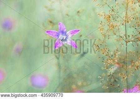 Flower Campanula Patula, Wild Flowering Plant, Beautiful Purple Spreading Bell Flower In Bloom, Summ