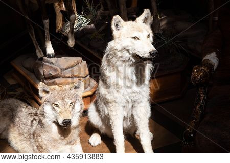 A Stuffed Animal Of Two Forest Wolves, Close-up. Beast Hunting Concept, Nature