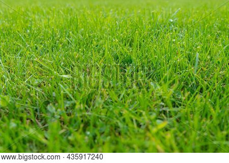Green Lawn And Real Green Grass For Background. Green Turf Grass Texture For Design With Copy Space