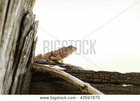 lizard hanging on wood in white background poster