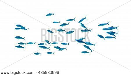 Shool Of Blue Tropical Striped Fish In The Ocean Isolated On White Background. Caesio Striata (stria