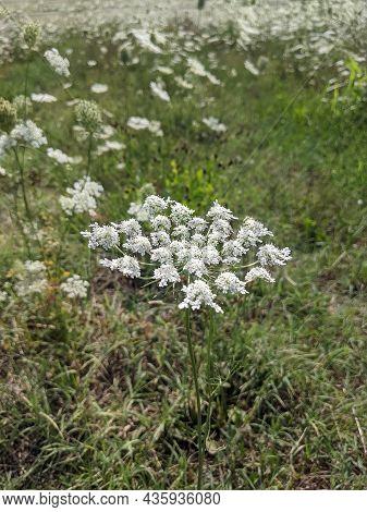 Achillea Millefolium, Common Yarrow Blooming In A Field