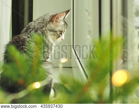 Beautiful Funny Gray Domestic Cat Looking In Window. Cat And Christmas Lights. Cozy Christmas. Beaut