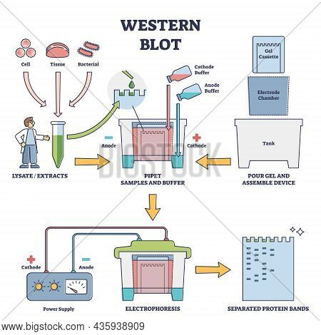 Western Blot Laboratory Method For Detecting Specific Protein Molecules Vector Diagram. Illustrated