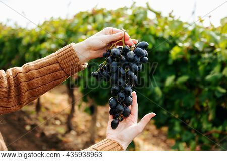 Close Up Of Woman Hands Holding Red Grape Bunch. Hand Holding Black Grape Fruit. Harvesting Grapes I
