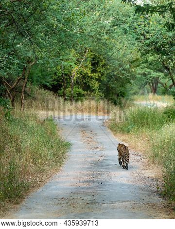 Back Profile Of A Indian Wild Male Leopard Or Panther Walking On A Jungle Track In Natural Green Bac